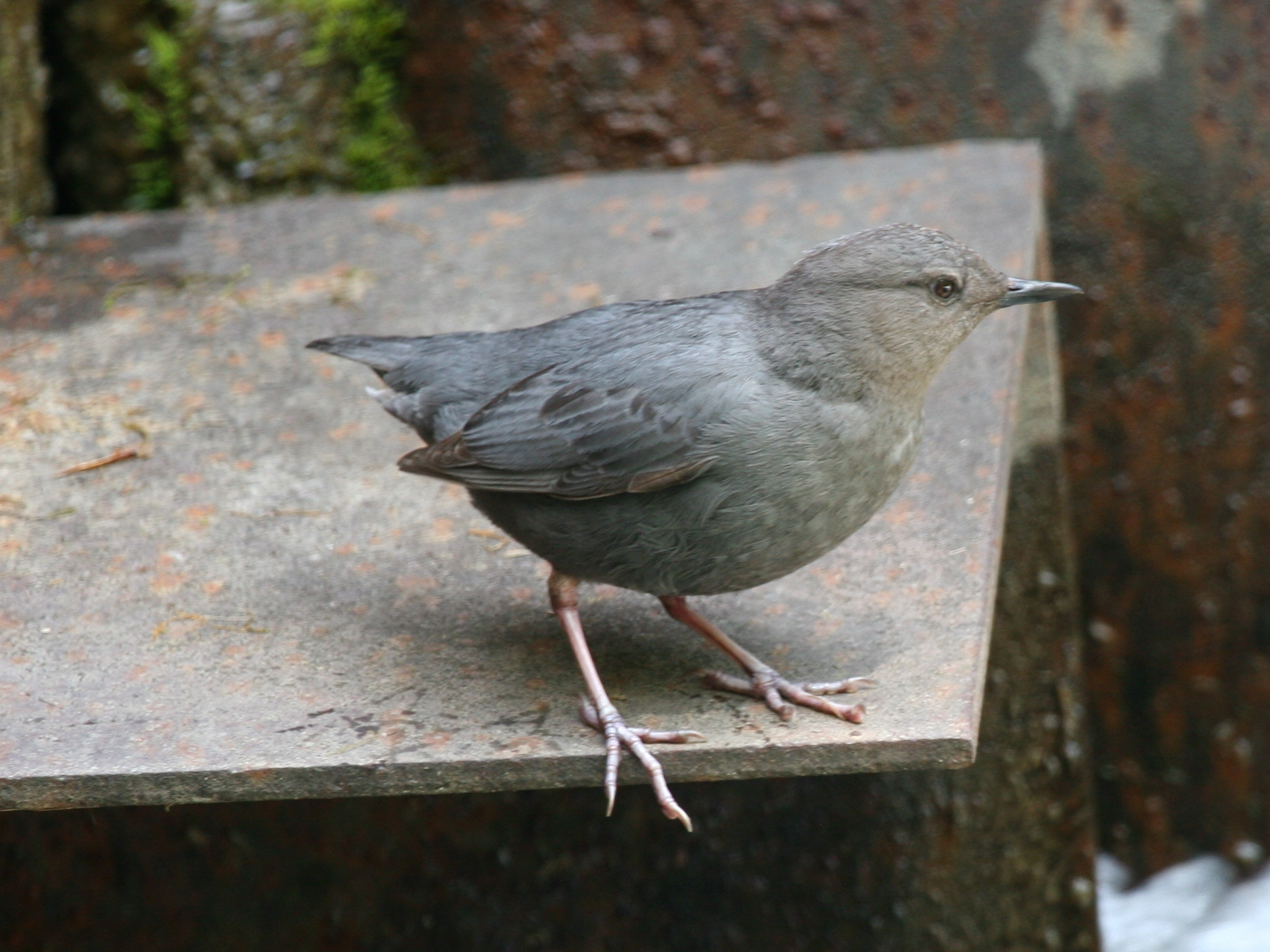 Wikipedia photo of an American Dipper = Water Ouzel