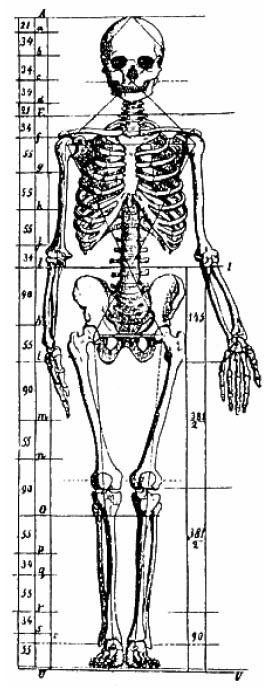 Anatomie par Zeising