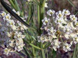 File:Asclepias subverticillata.jpg - Wikimedia Commons