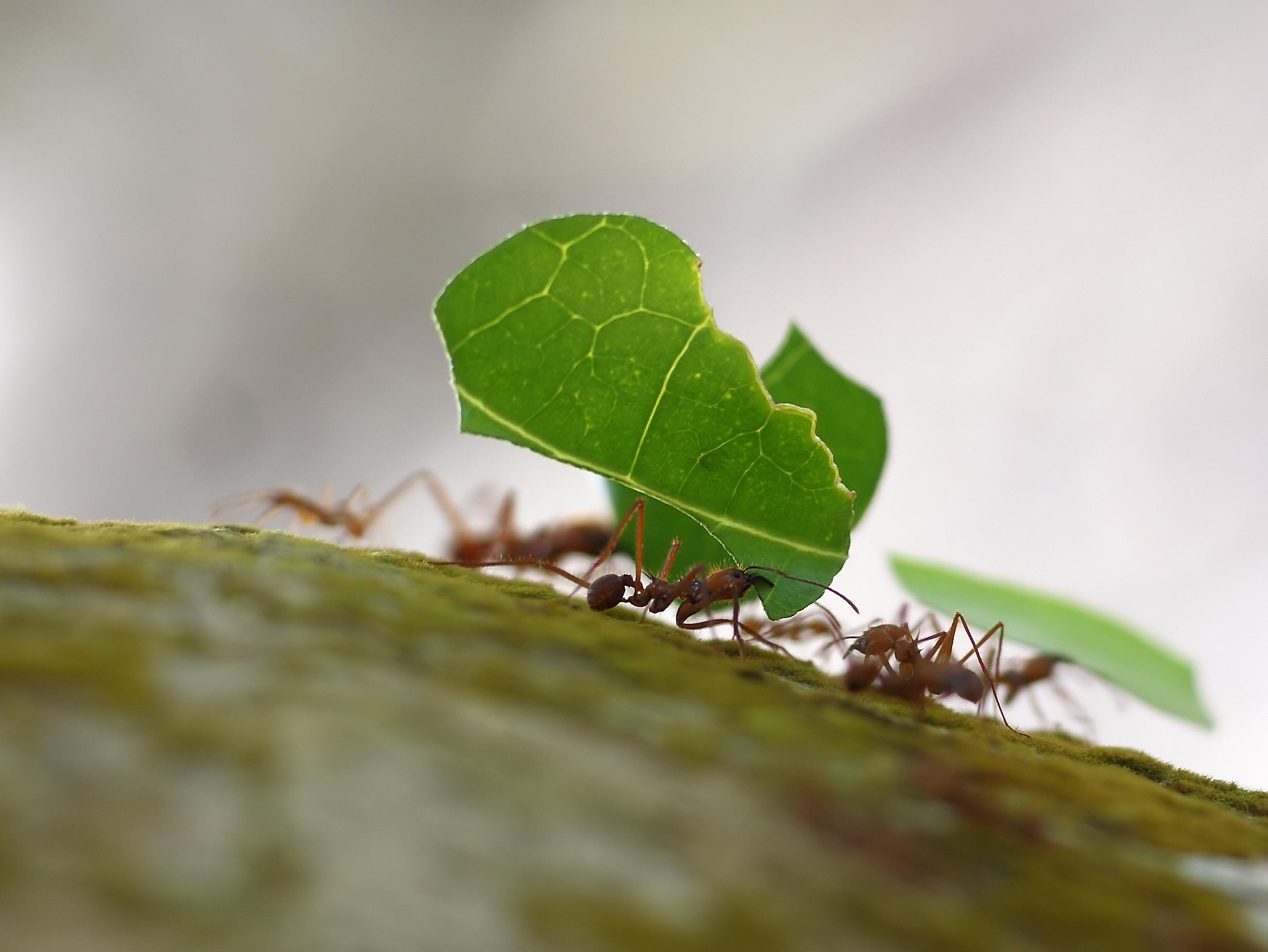 Archivo:Atta cephalotes (Costa Rica) 1.jpg