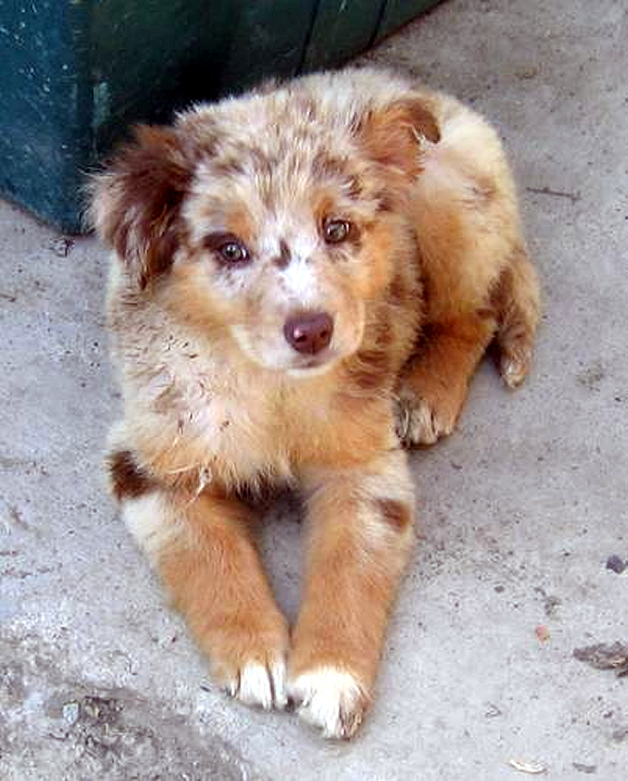 Description Australian Shepherd puppy redmerle.jpg