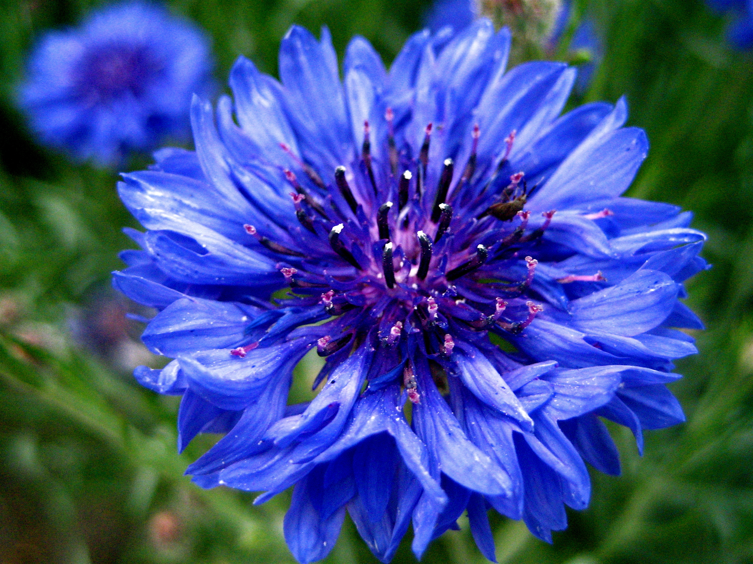A pretty purple flower!! Also known as a blue bachellor button!