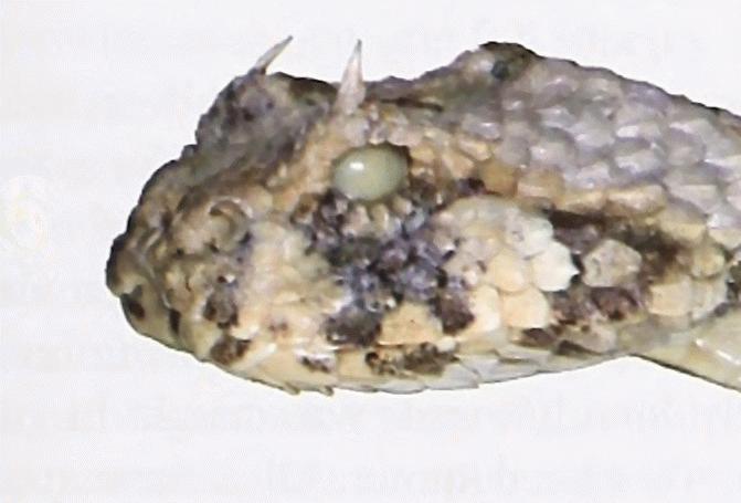 Gehörnte Puffotter – Wikipedia