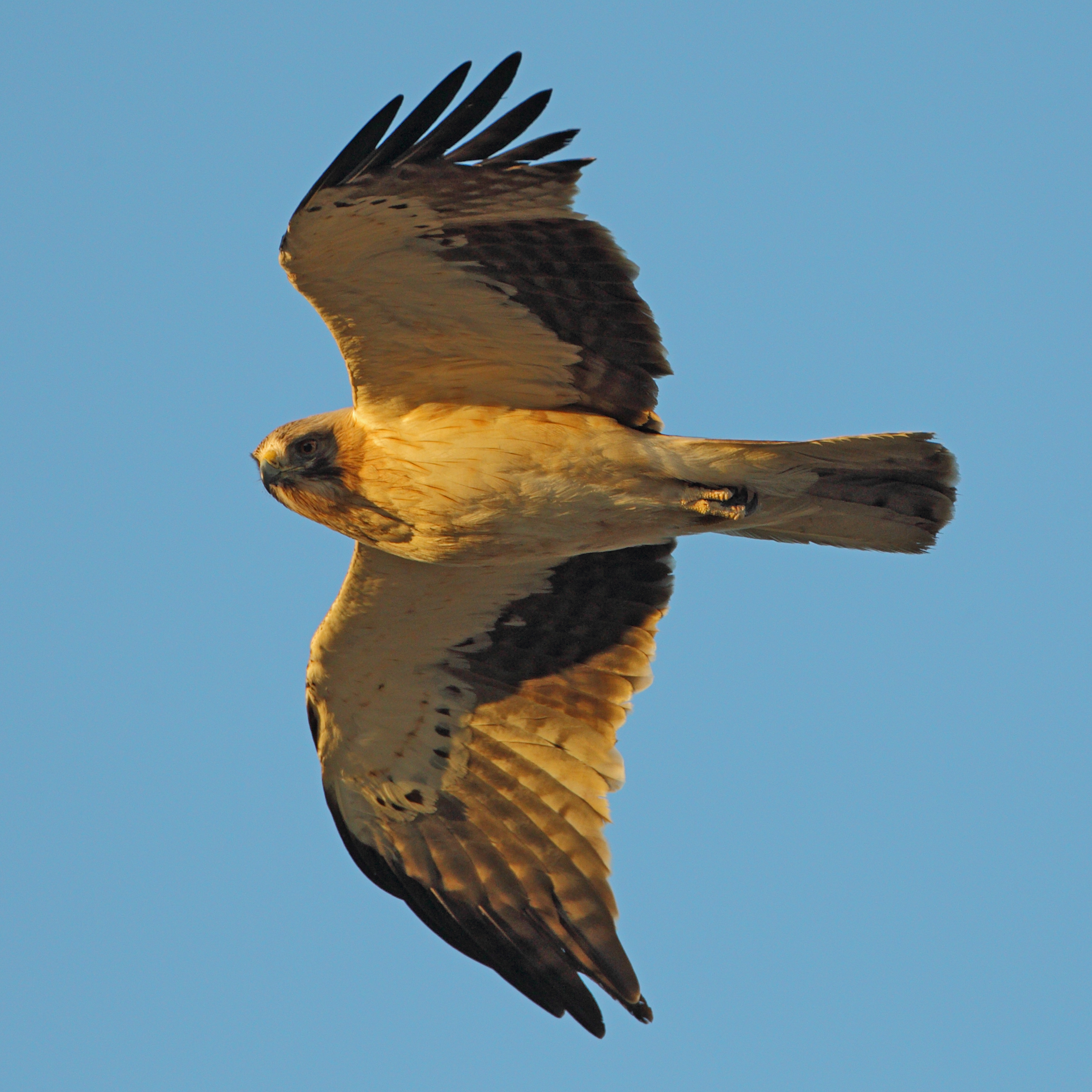 File:Booted Eagle.jpg - Wikimedia Commons