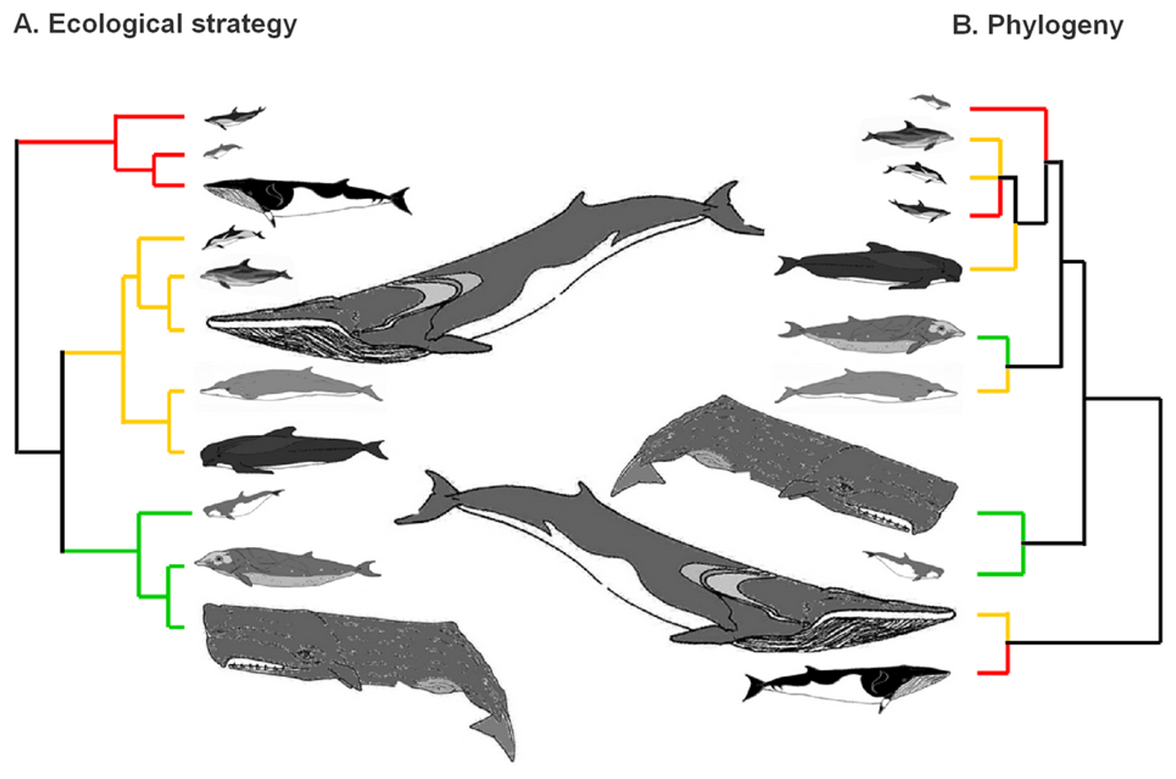Filebranching diagrams showing the ecological and evolutionary filebranching diagrams showing the ecological and evolutionary relationships among cetaceansg ccuart Gallery
