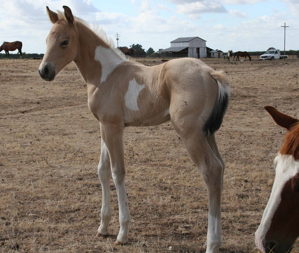 Buckskin Paint Foal For Sale
