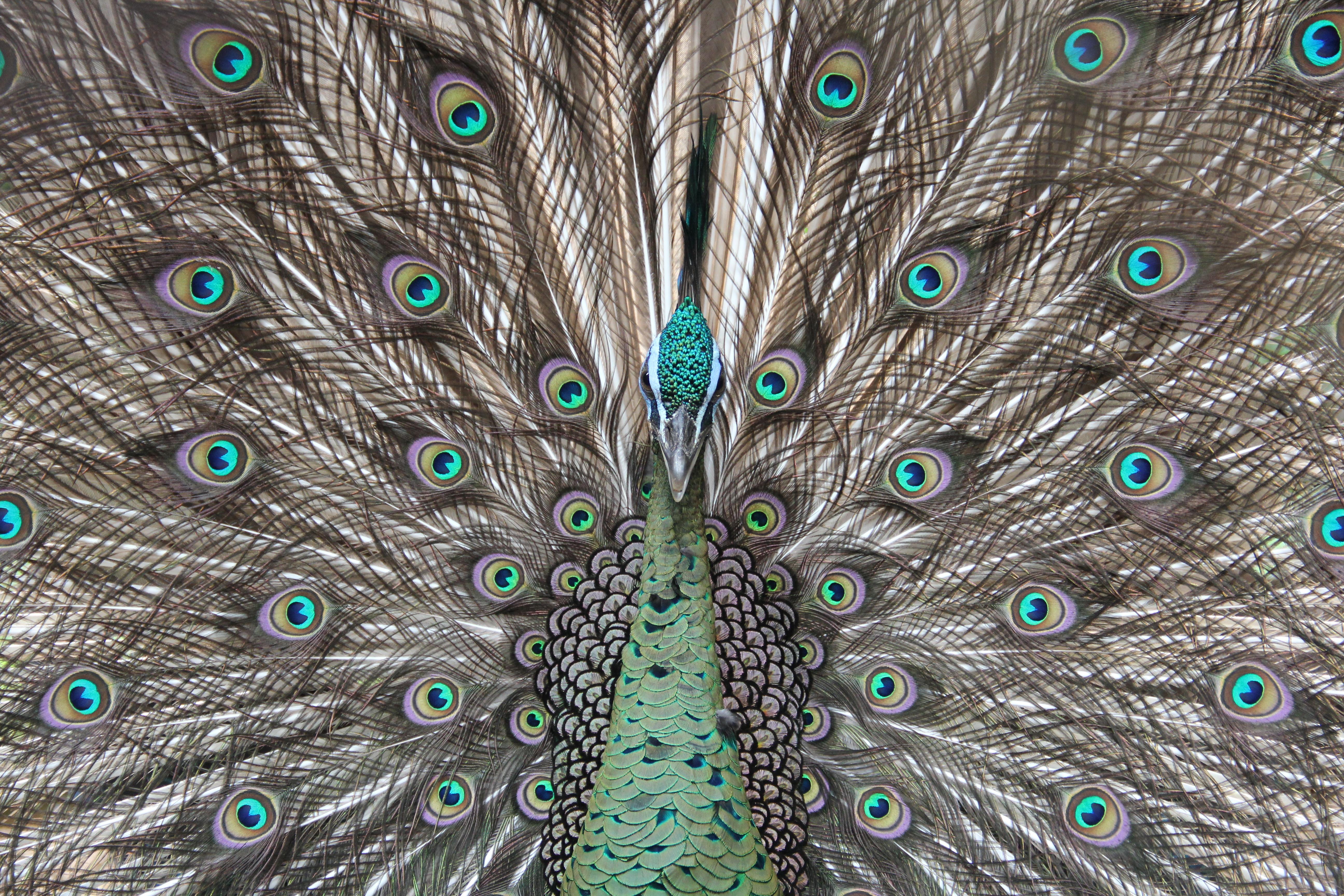 45+ Foto Gambar Burung Merak.com HD Paling Keren