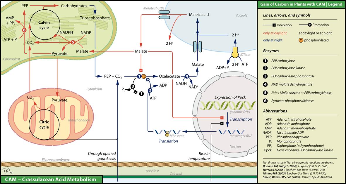 Biochemistry of CAM