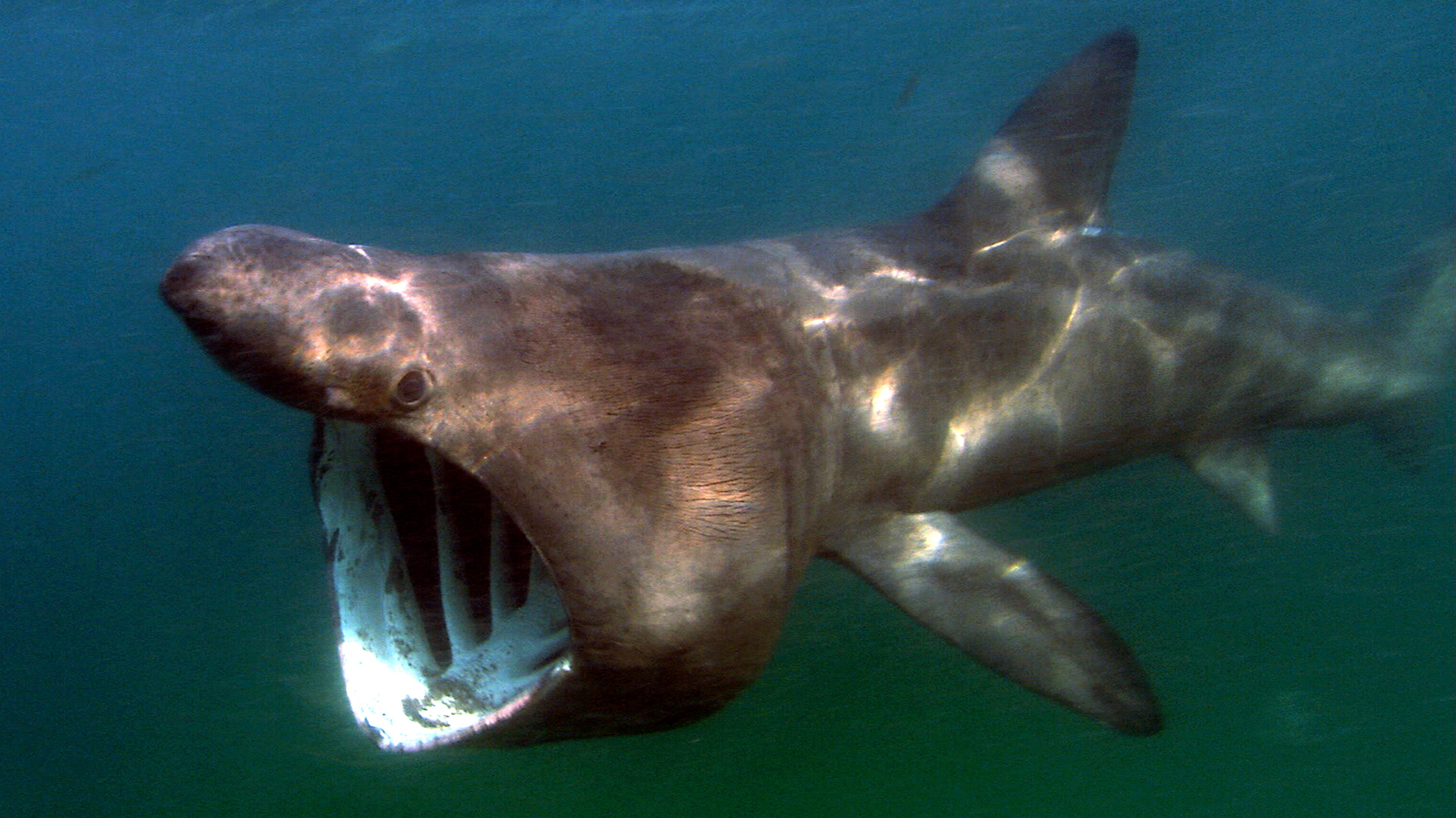 File:Cetorhinus maximus atlantic.jpg