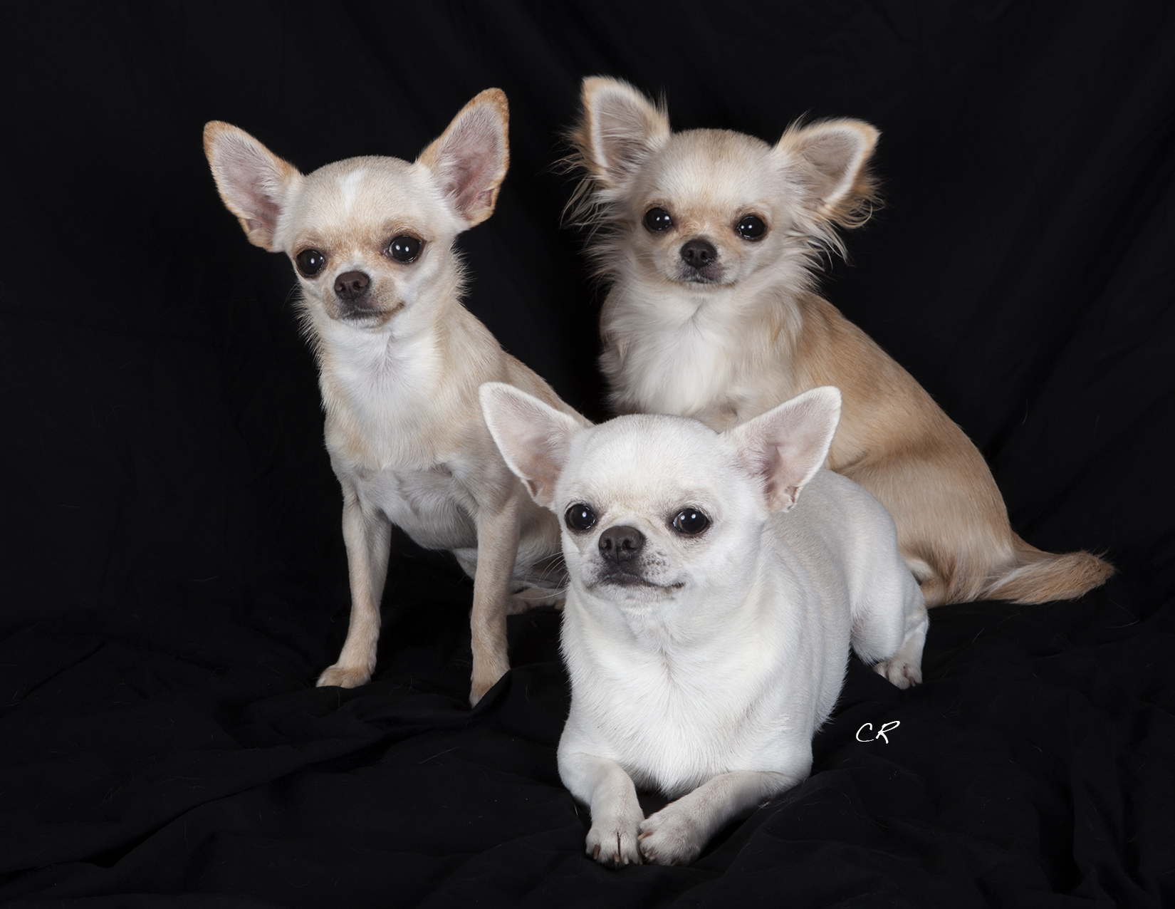 File:Chihuahuas- Holly, Nina, Doralice.jpg - Wikimedia Commons
