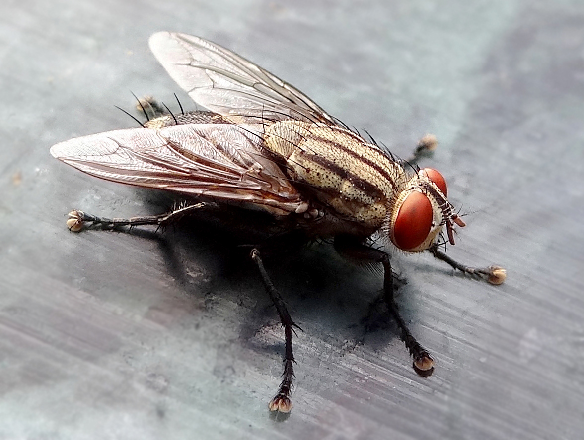 Download this Description Closeup House Fly picture