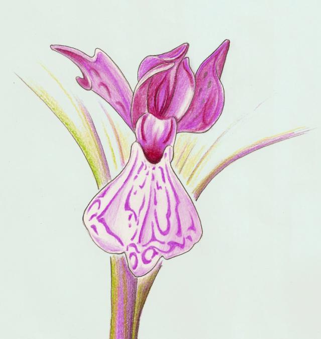 Dactylorhiza elata sesquipedalis wikipedia - Testo gemelli diversi vai ...