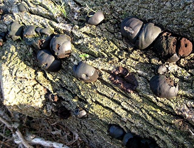 facts about daldinia Daldinia is a genus of fungi in the family xylariaceae species d angolensis d bakeri d bambusicola d brachysperma d caldariorum d childiae d clavata.