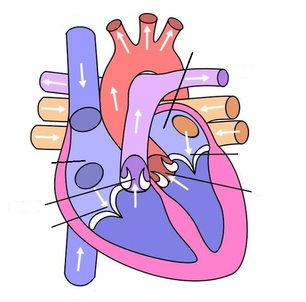 Human Heart Diagram Without Labels Tenderness Co