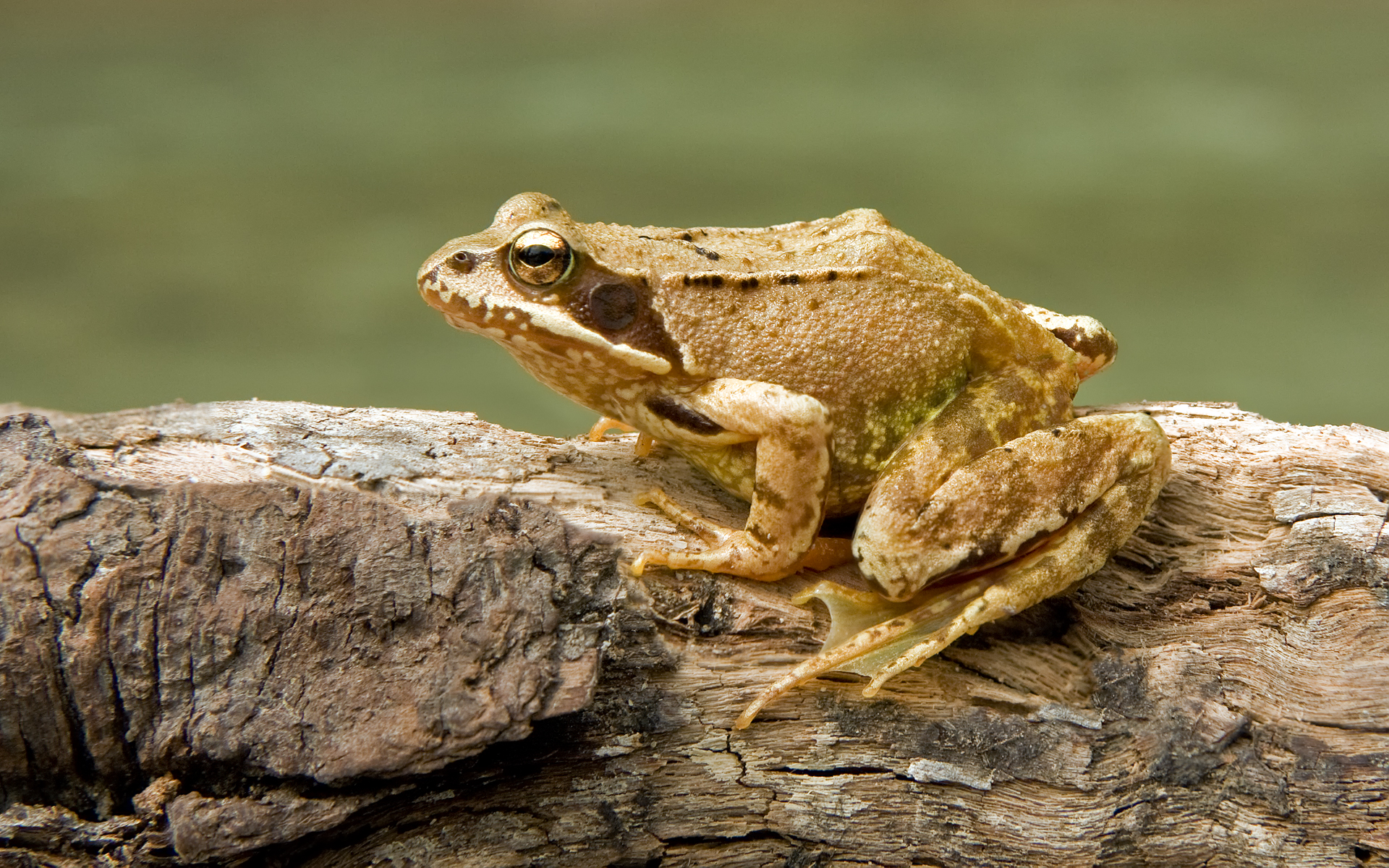 Common frog Wikipedia