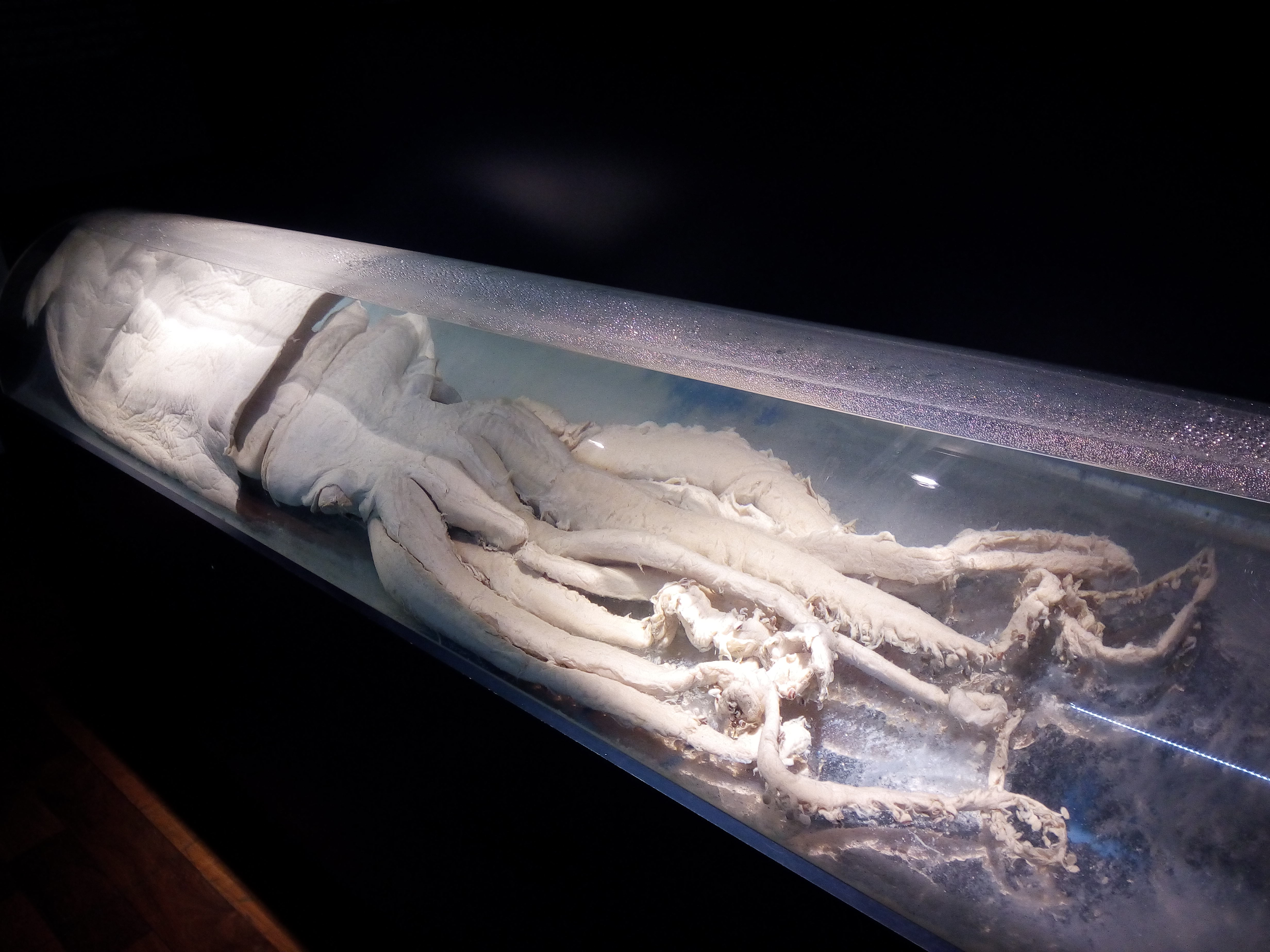 filegiant squid museo alboraniajpg wikimedia commons