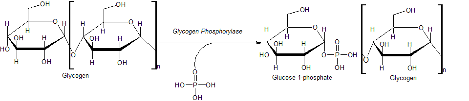 Principles Of Biochemistryglucose Glycogen And Diabetes