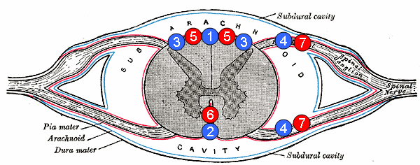 Arteria spinale anteriore - Wikipedia