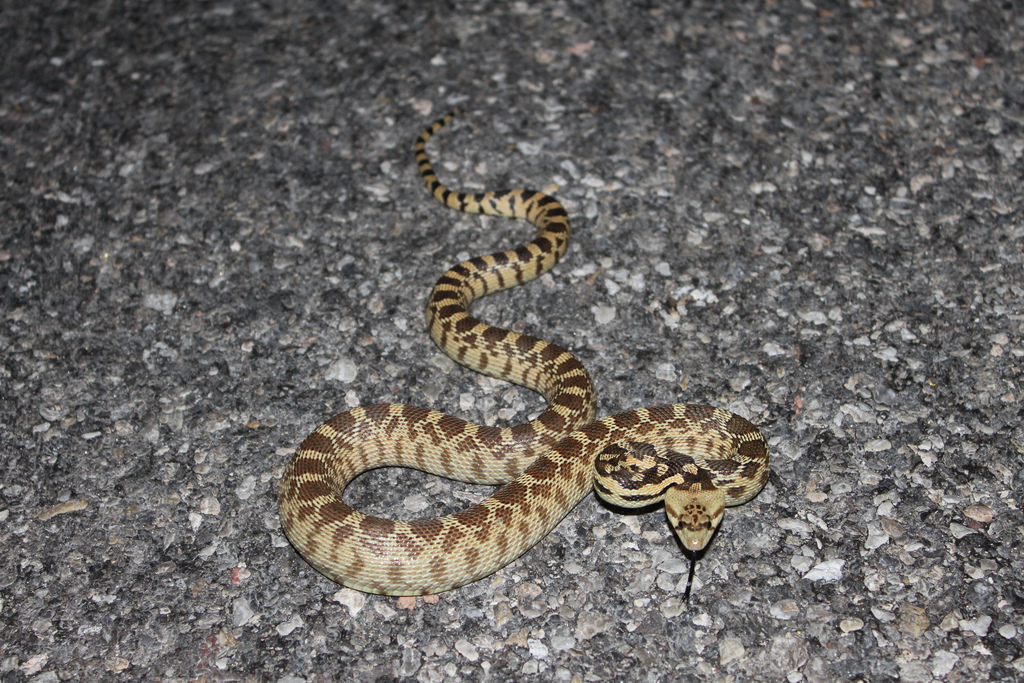 Gopher snake - photo#9