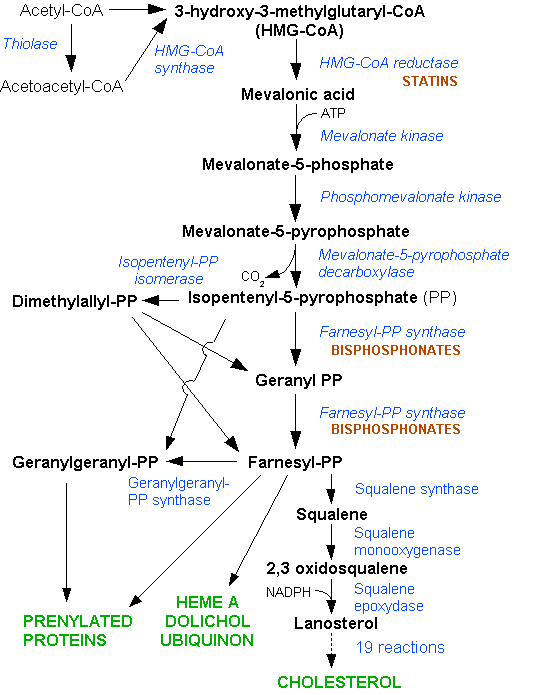 Cholesterol is synthesized in the HMG-CoA reductase pathway.