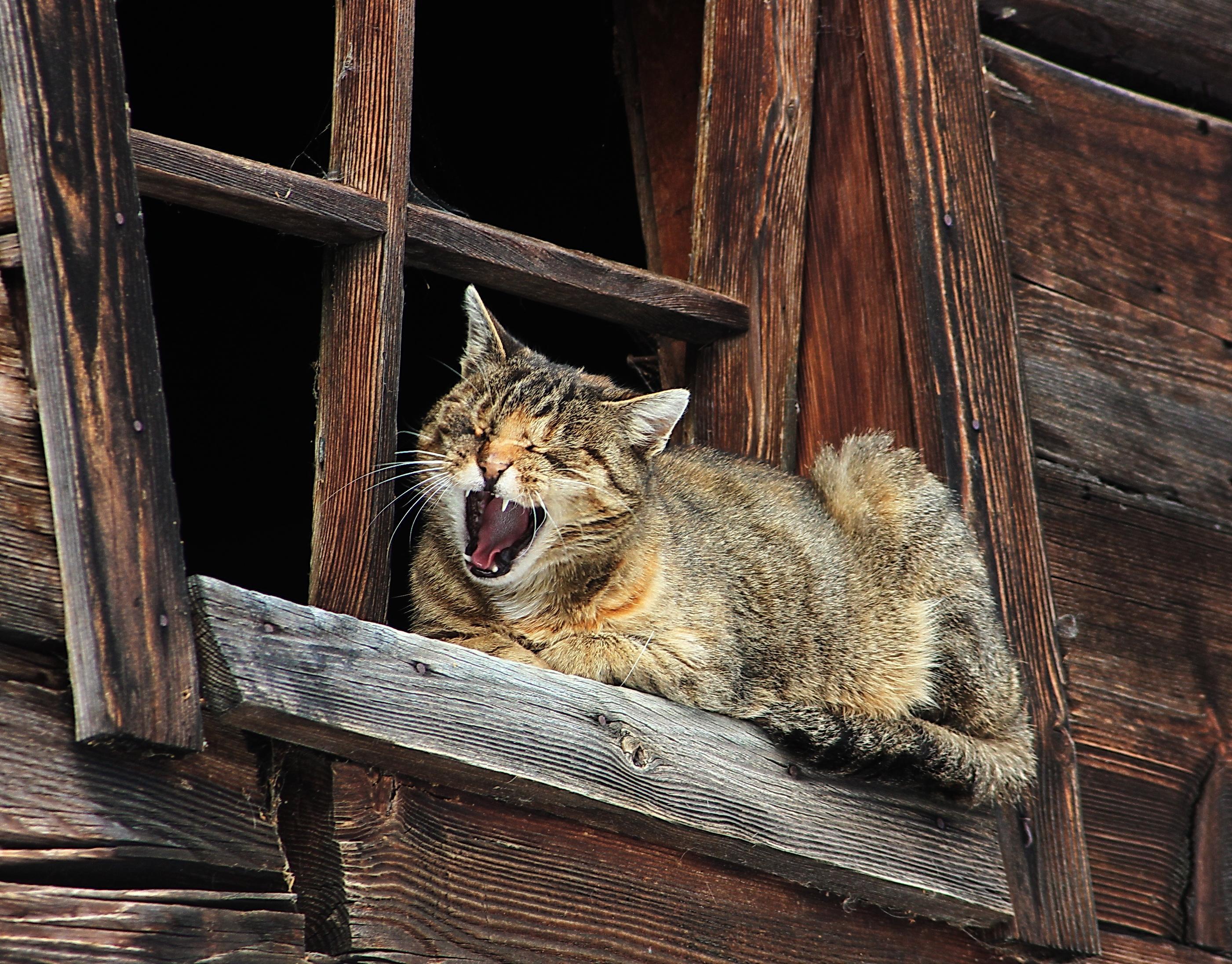 Gähnende Hauskatze