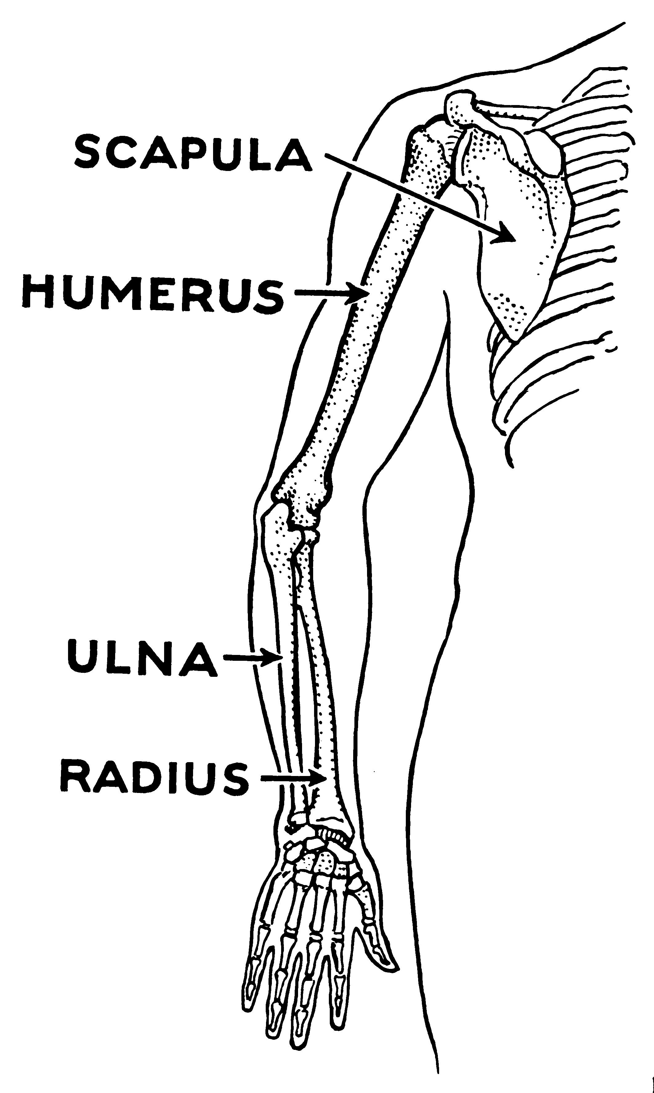 Filehumerus Psfg Wikimedia Commons