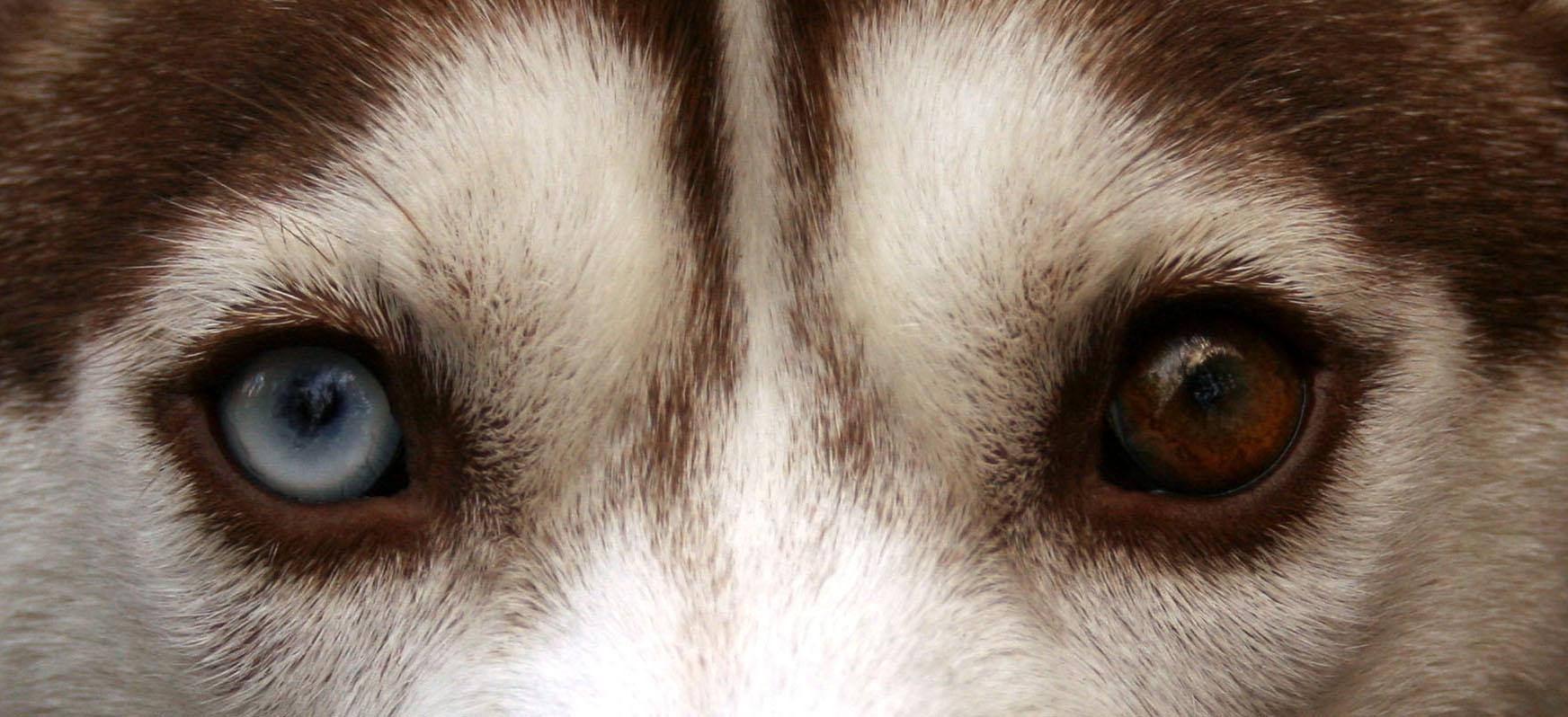 Oči u některých plemen mohou mít různé zbarvení