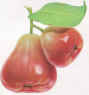 File:Lainwu (Wax apple) diamond P00063.JPG