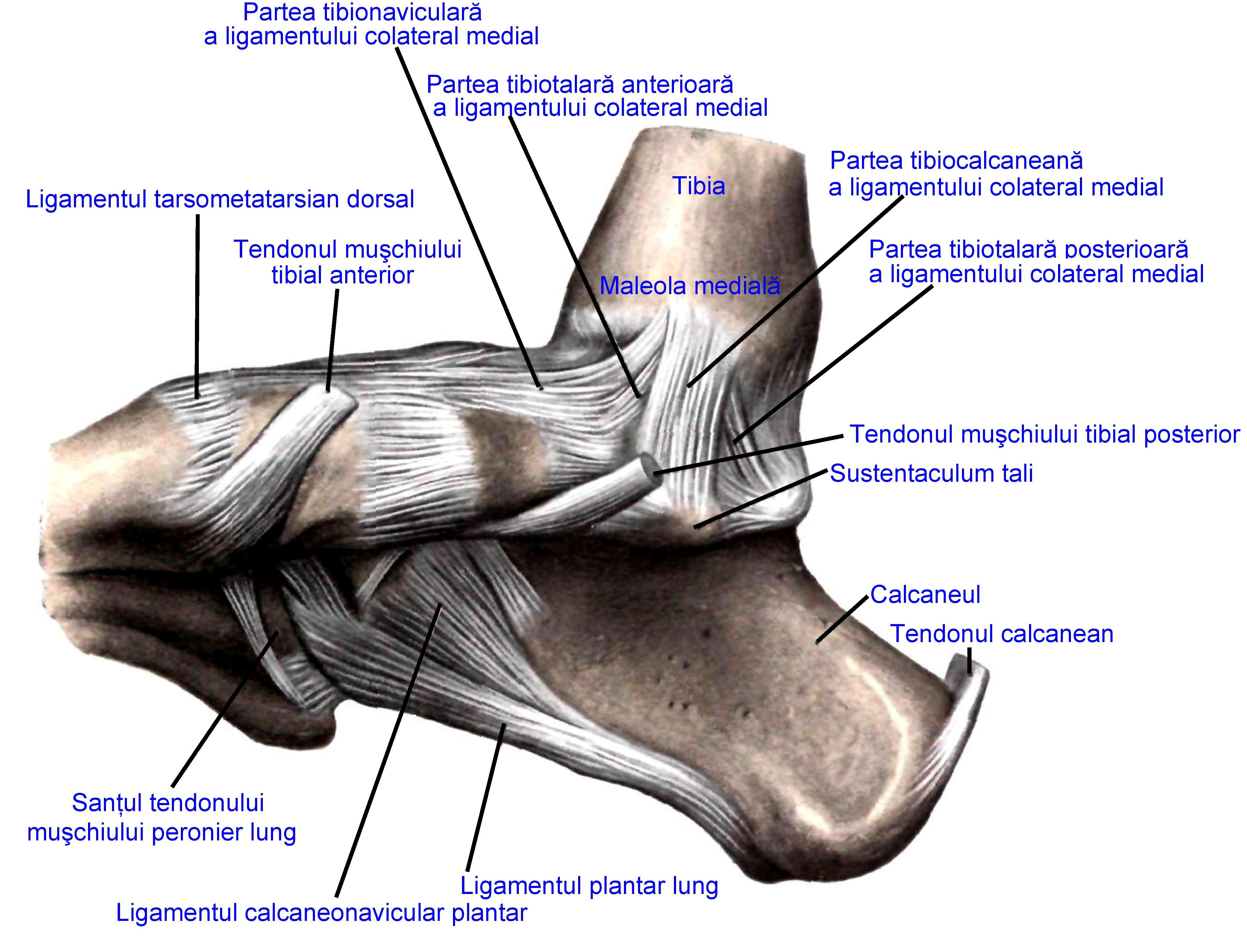 Fileligaments Of The Medial Aspect Of The Foot Sobottag