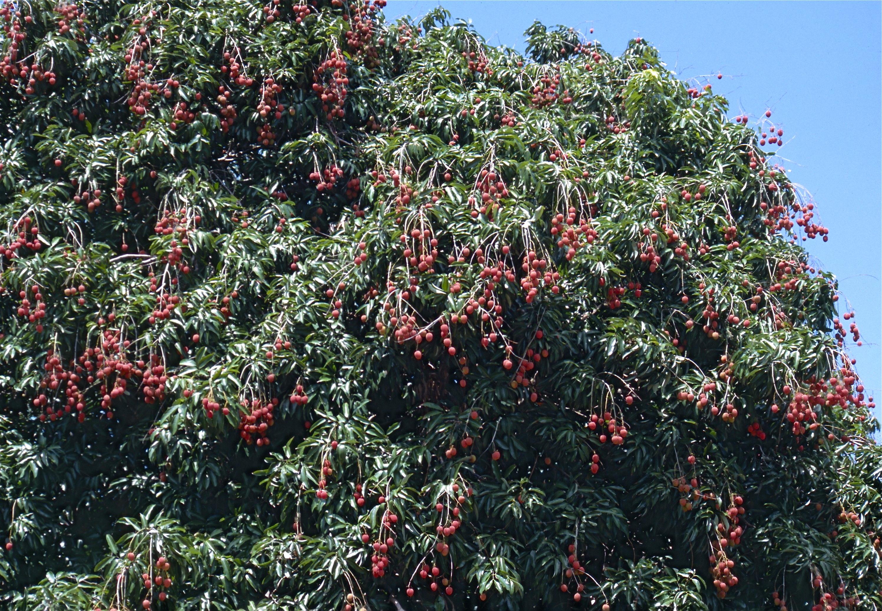 LICHI TREE IN DEHRADUN