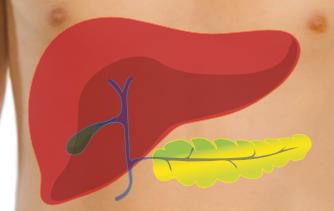 Liver and pangreas - transparent.png