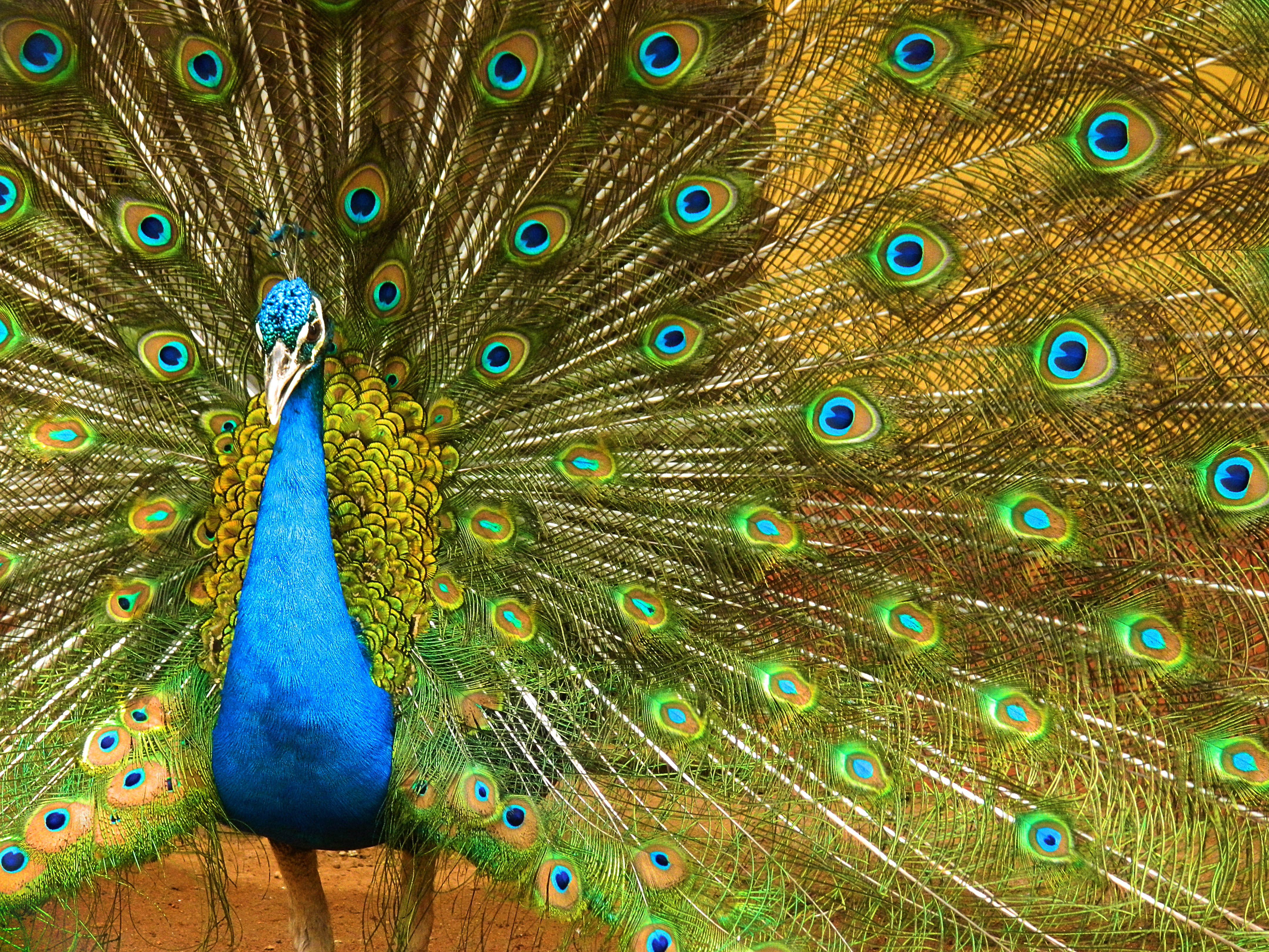 indian peafowl photos and - photo #9