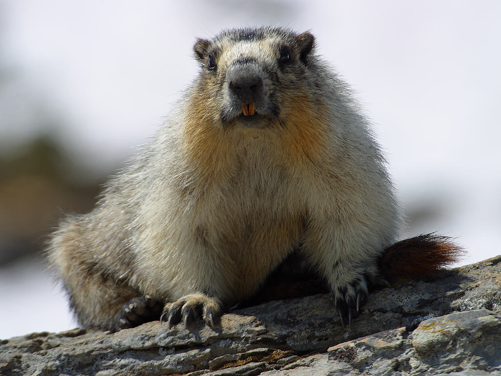 Marmota flaviventris.jpg