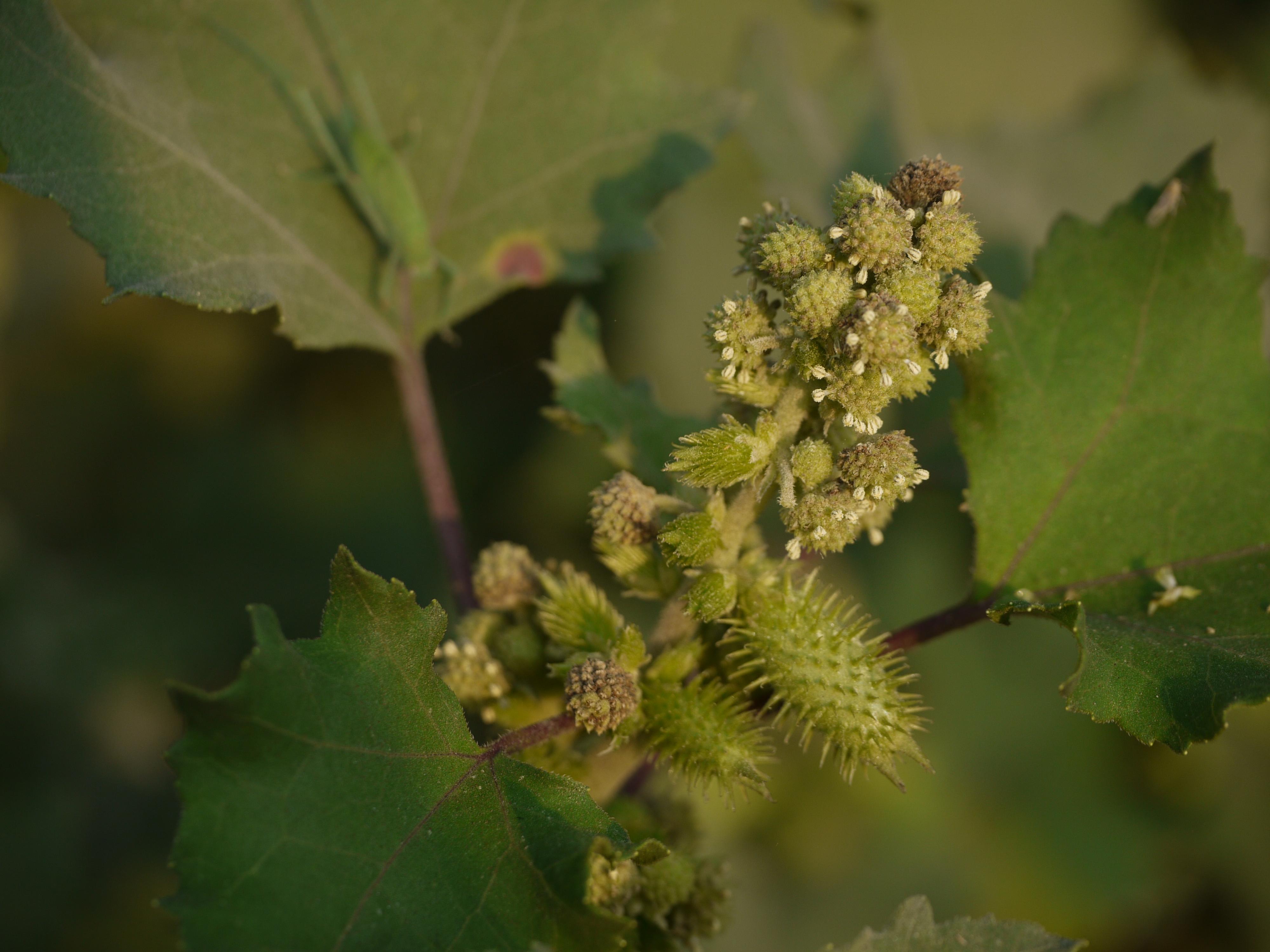 Understanding the Cocklebur — In Defense of Plants