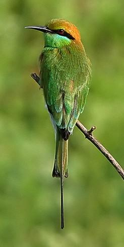 Merops orientalis.jpg