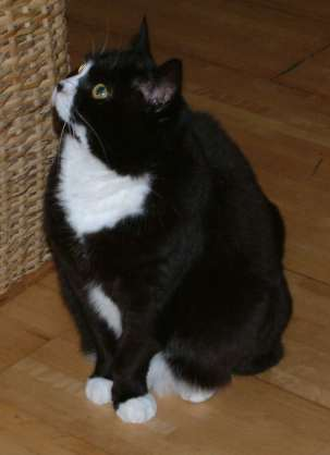 [Image: Minoes_the_black_and_white_cat_(looking_up).jpg]