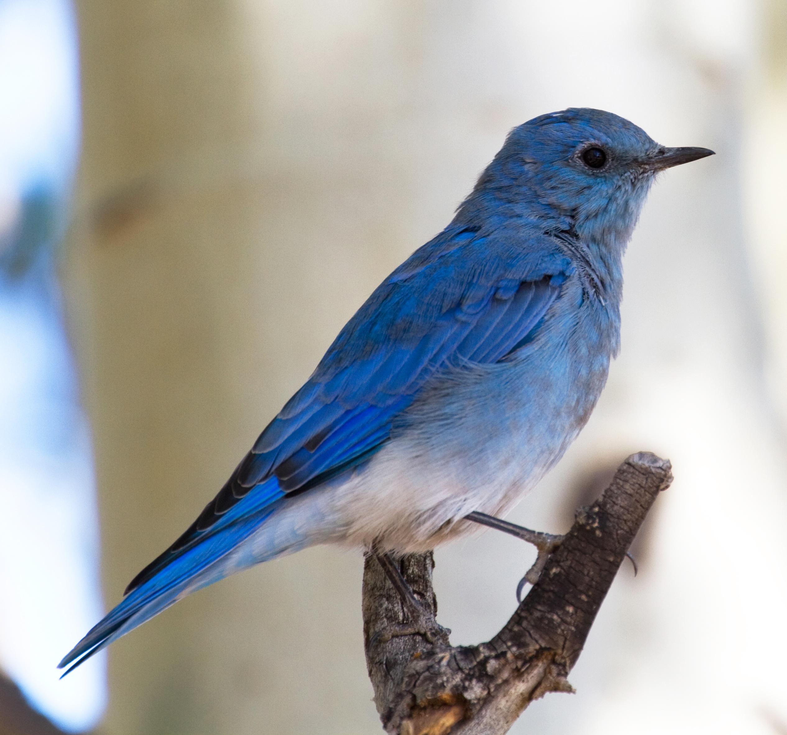 Http Commons Wikimedia Org Wiki File Mountain Blue Bird 5 8045047207 Jpg
