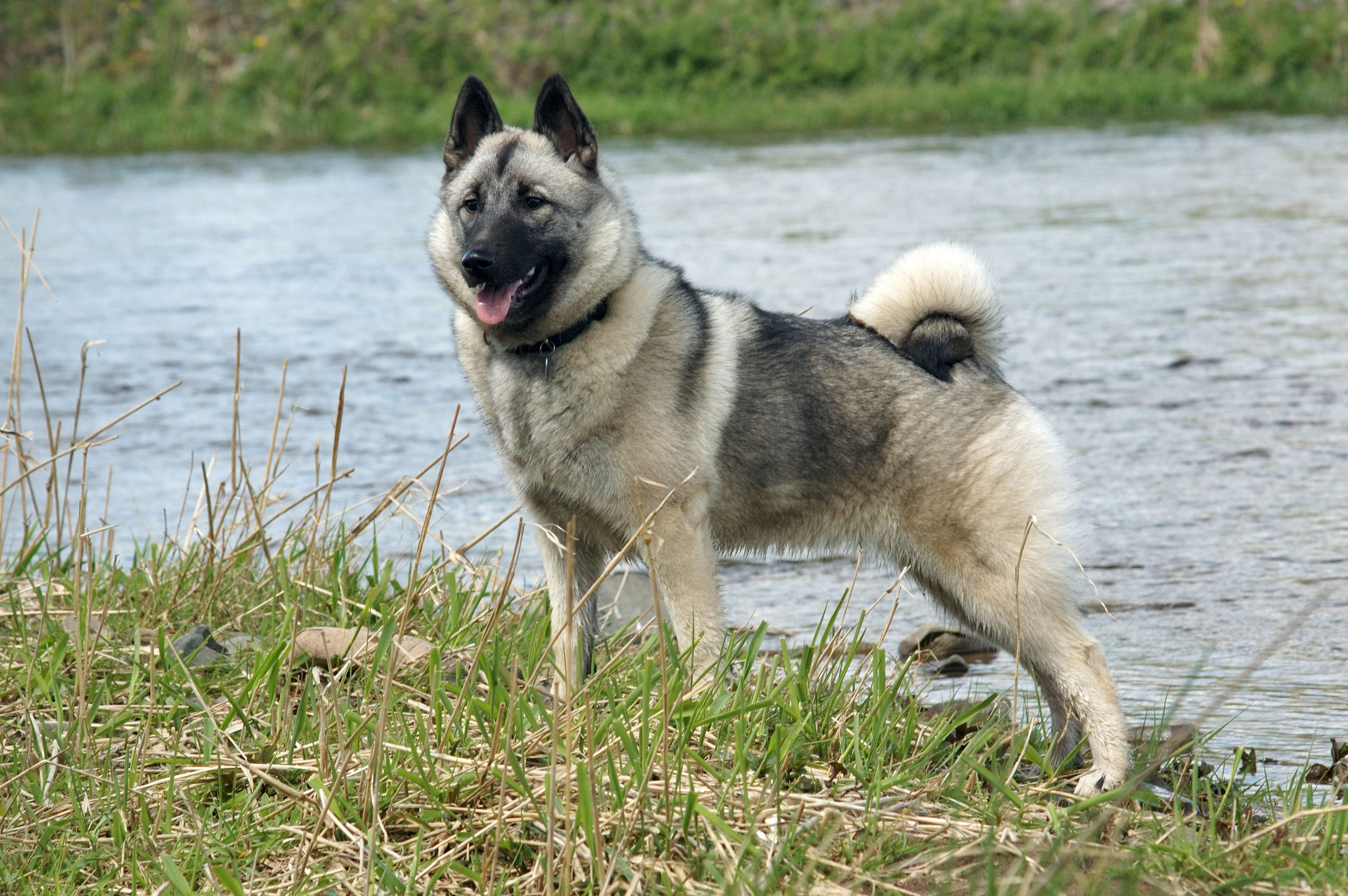 Description Norwegian Elkhound 1.jpg