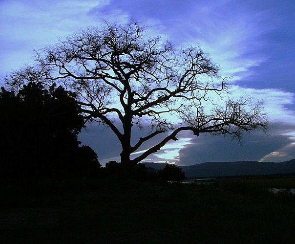 File:Nyala Tree Manyuchi.jpg