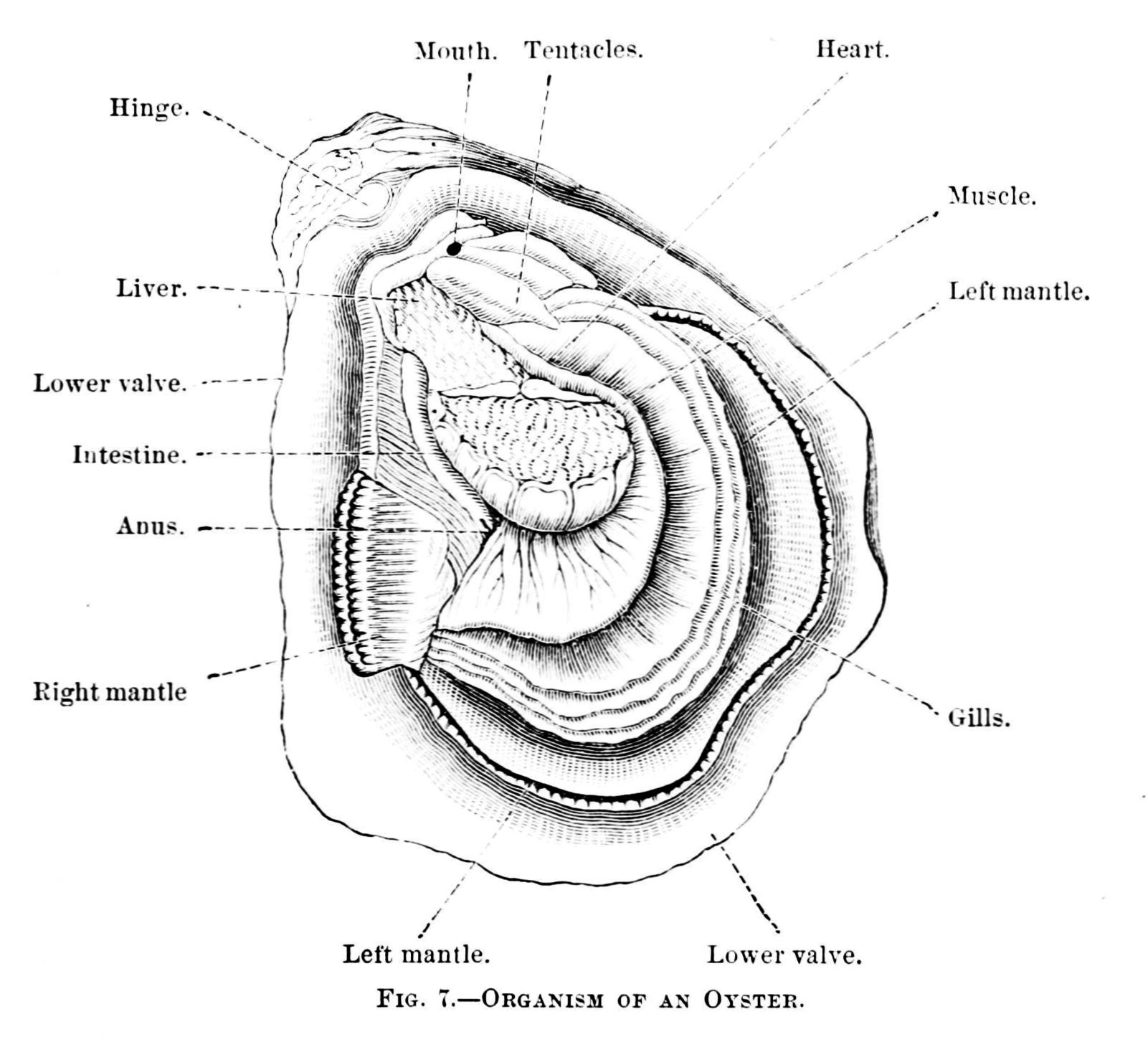 File:PSM V06 D025 Organism of an oyster.jpg - Wikimedia Commons