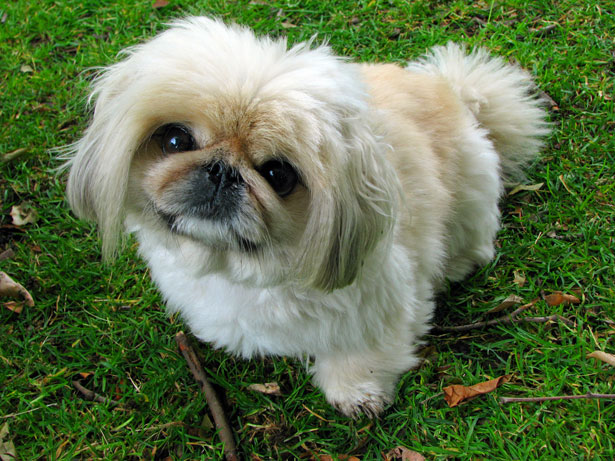Image result for Pekingese