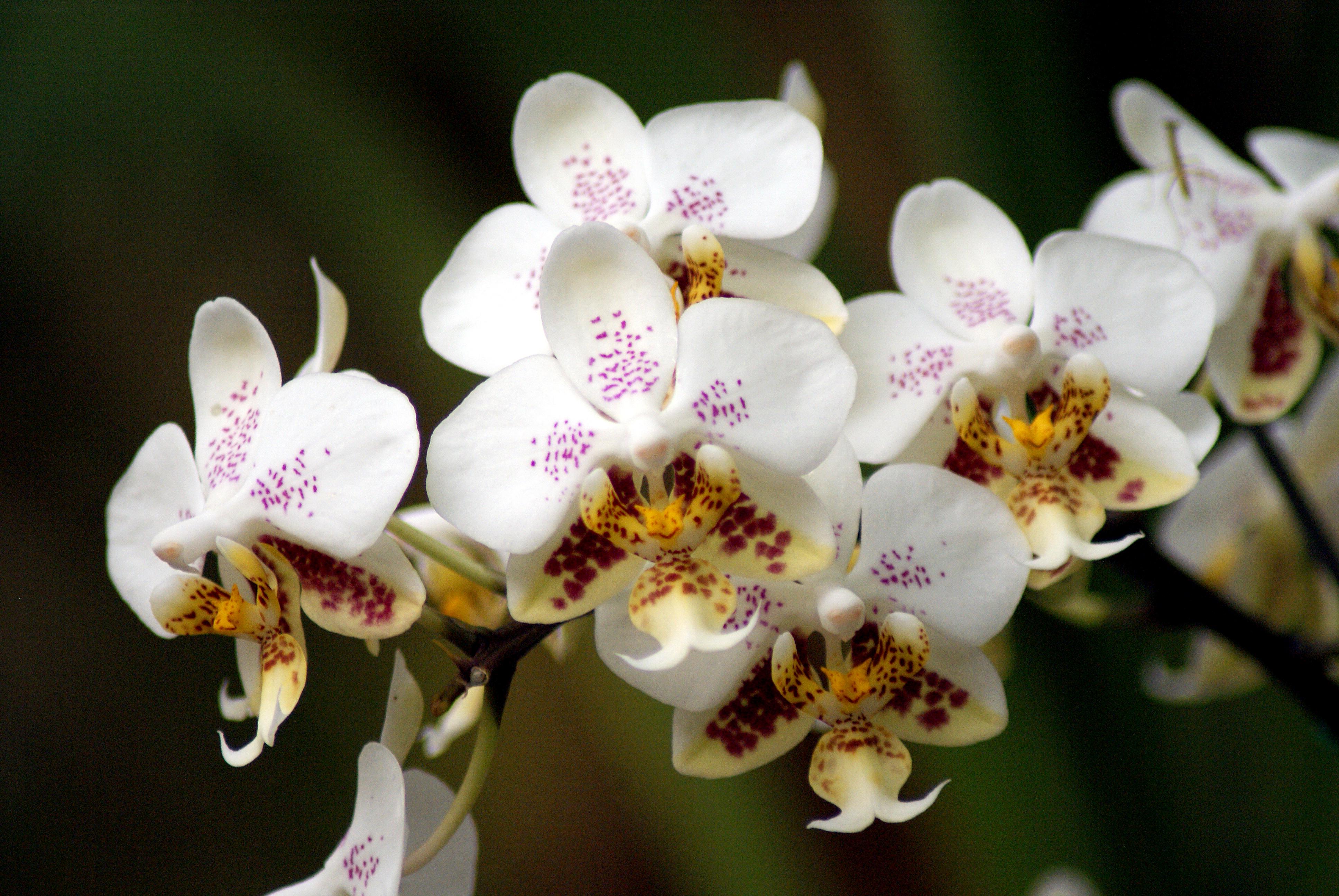 Orchidee Phalaenopsis stuartiana