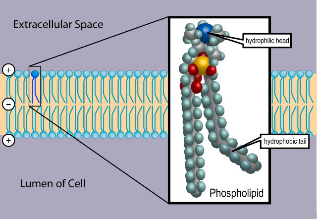 Basic Phospholipid Structure