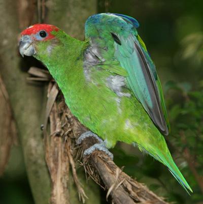 Ficheiro:Pileated Parrot.jpg