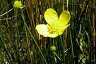 Ranunculus acriformis aestivalis.jpg