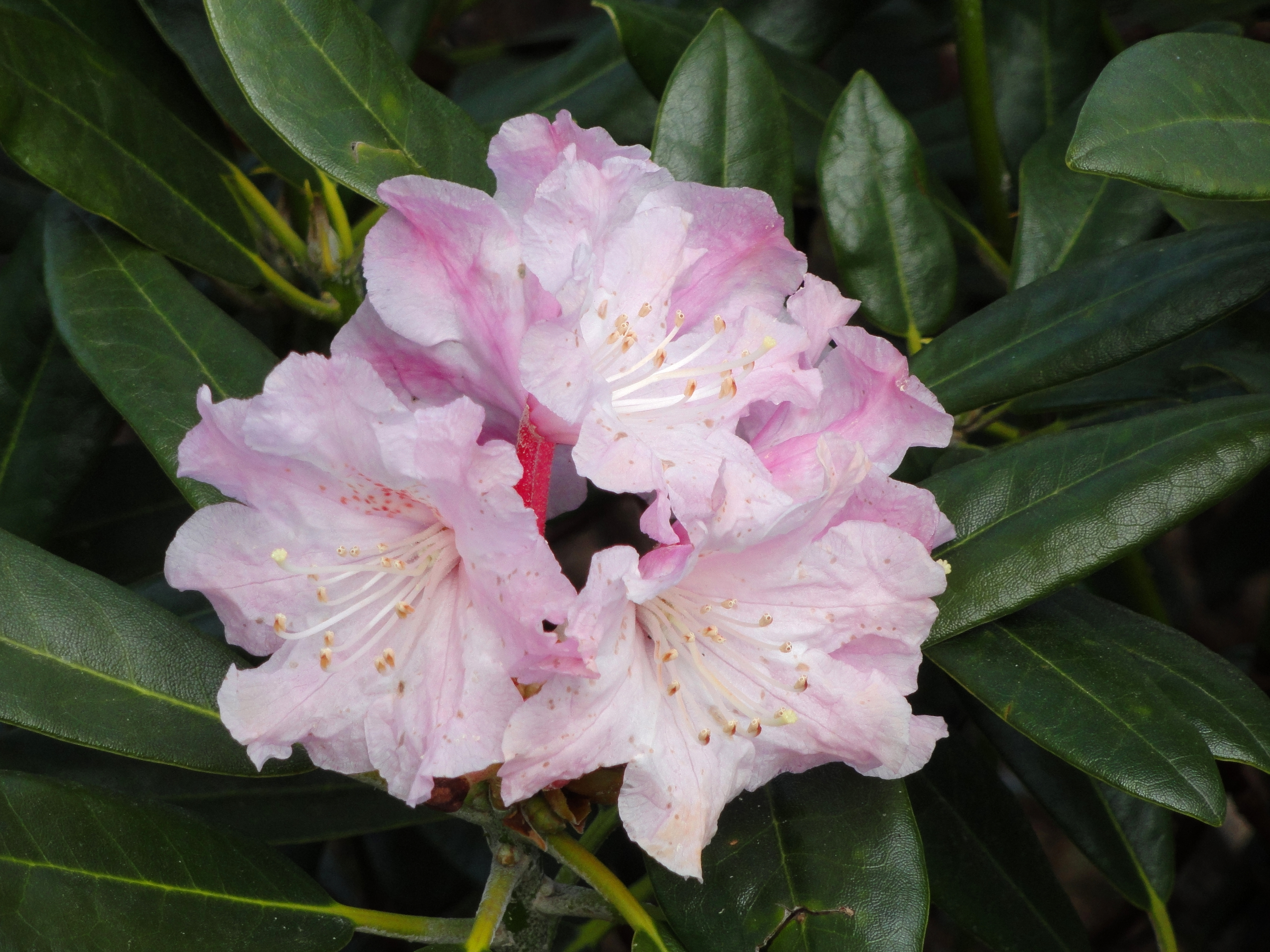 Rhododendron Degronianum Wikipedia