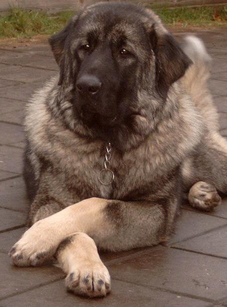 Sarplaninac Dog For Sale Uk