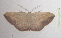 Scopula caesaria (Walker, 1861).jpg