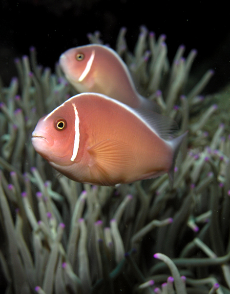 File:Skunk anemonefish.jpg