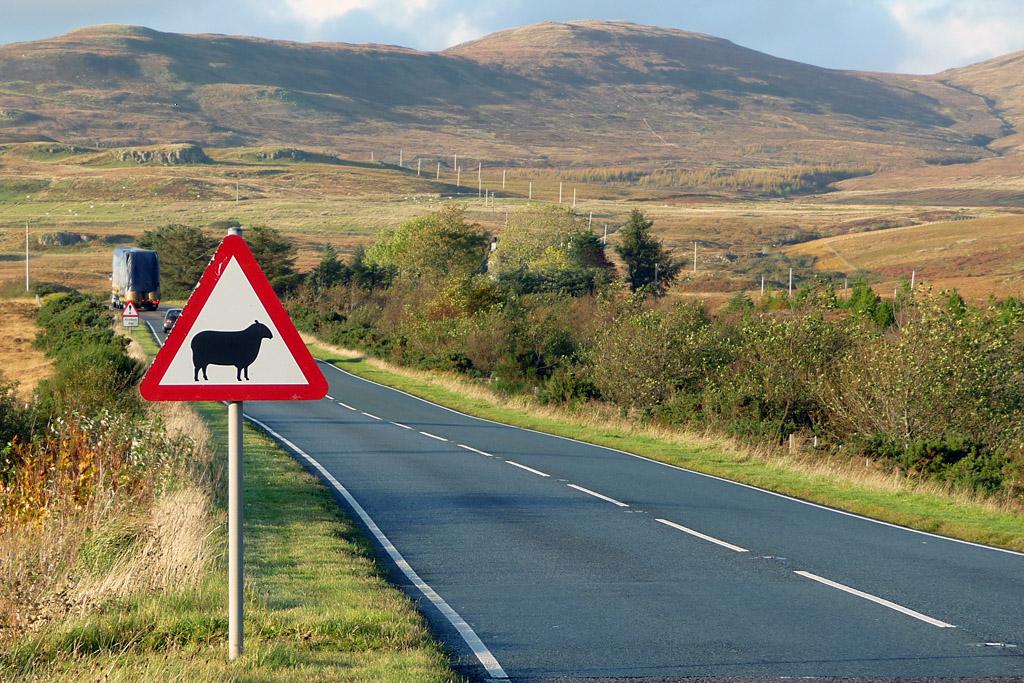 Road sign warning of sheep, Scotland